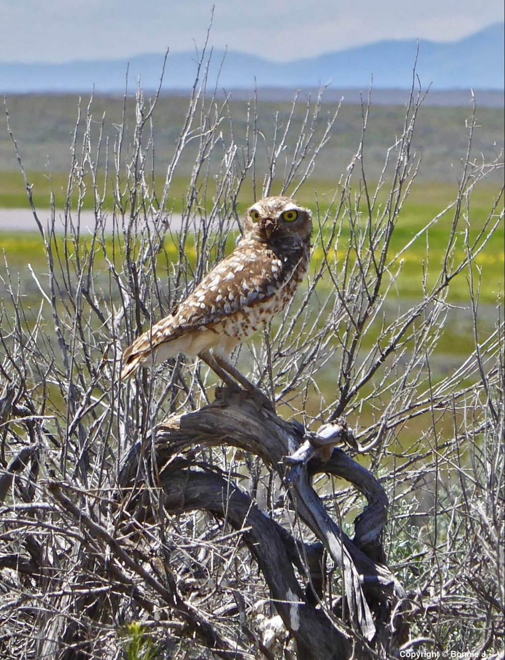 Burrowing Owl in the Owyhee Uplands