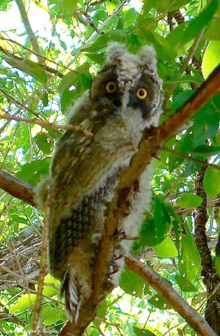 Young Long-earred Owl